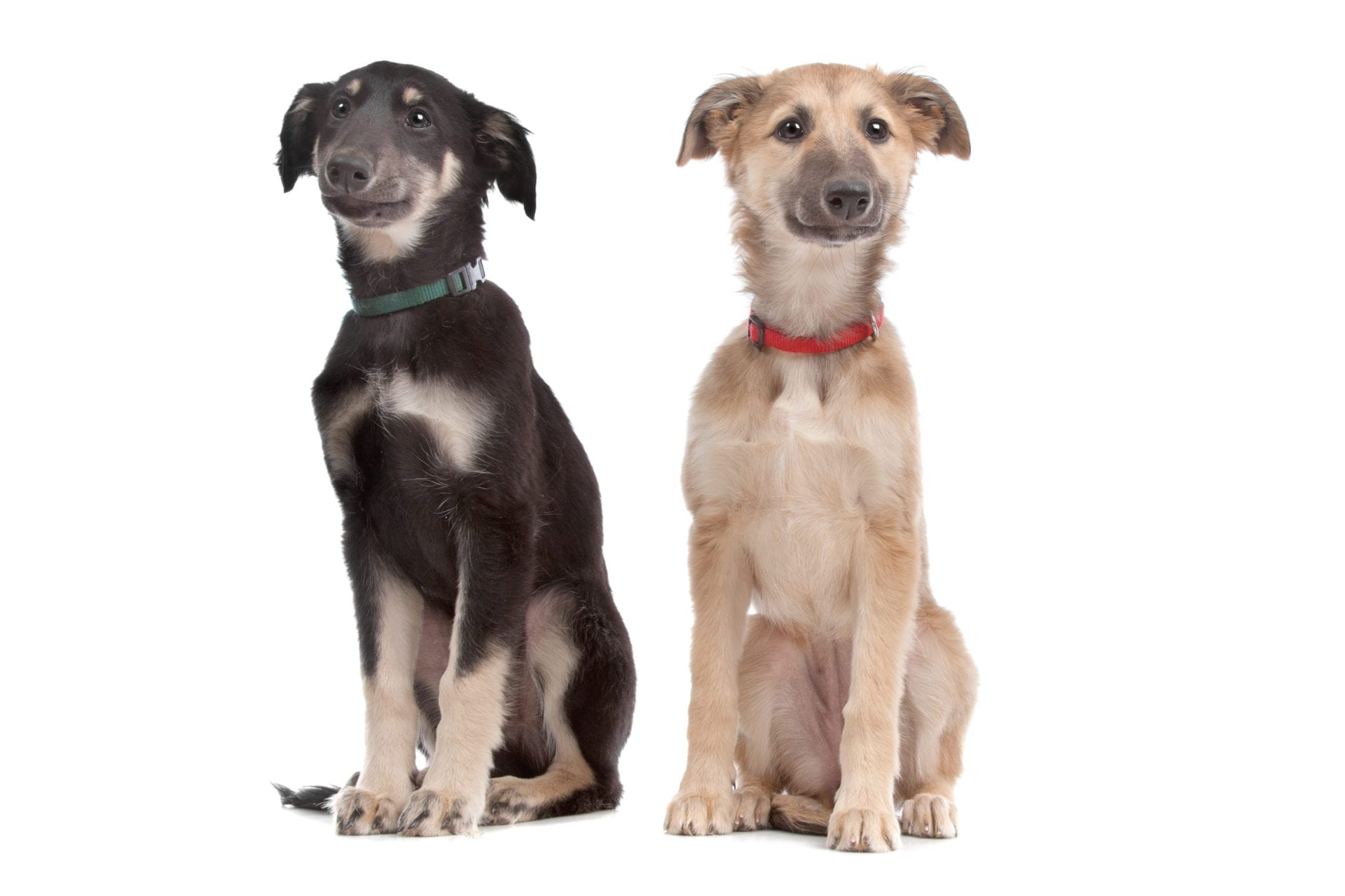 two whippet puppy dogs in front of a white background