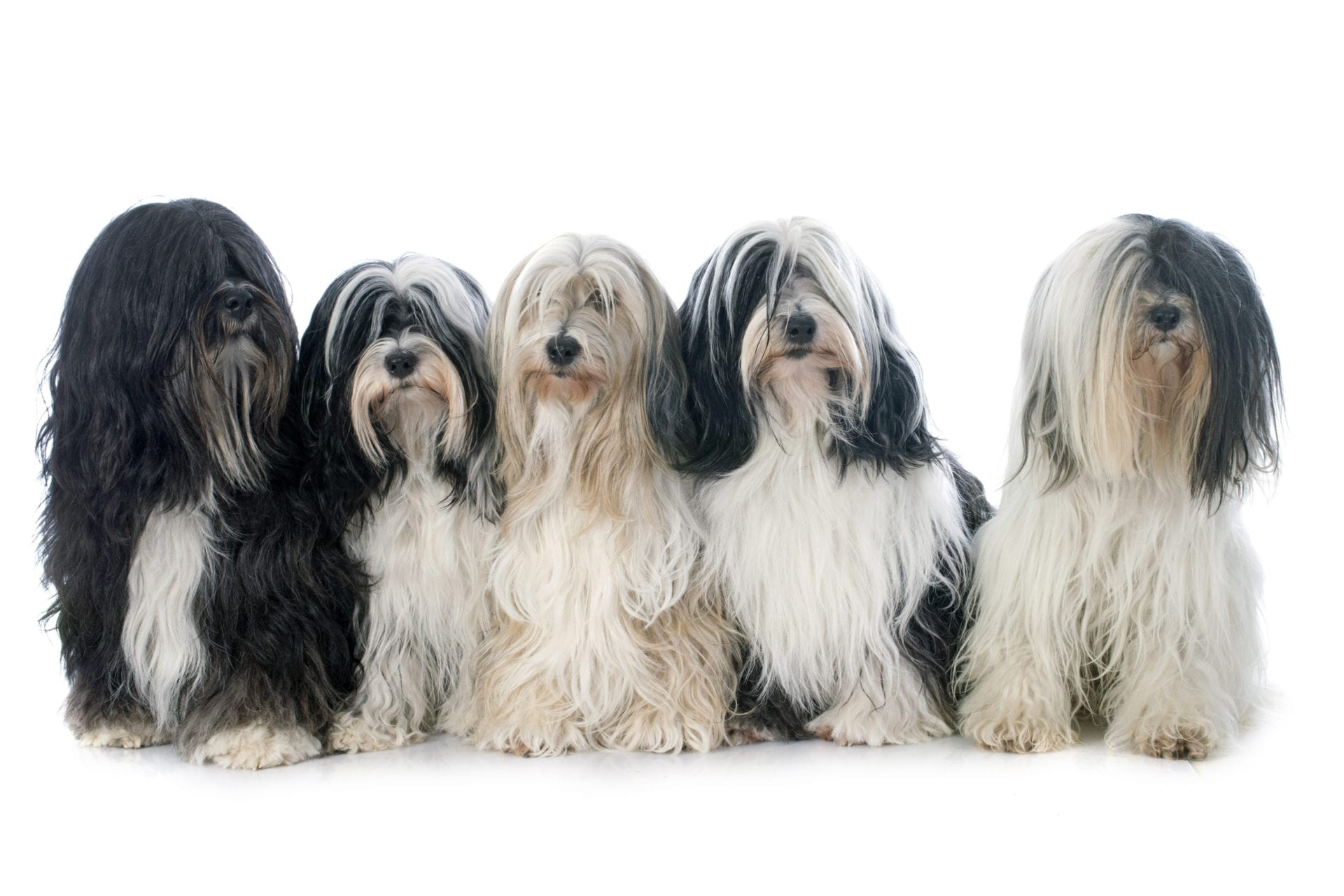 five Tibetan terrier in front of white background